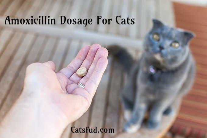 Amoxicillin Dosage For Cats