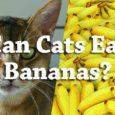 Can Cats Eat Bananas