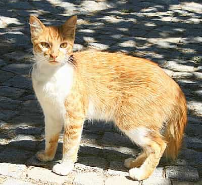 Golden Tabby cat