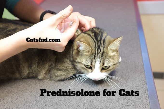 Prednisolone for Cats