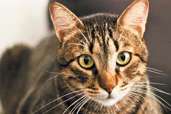 tabby cats facts