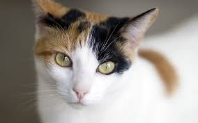 what is a calico cat
