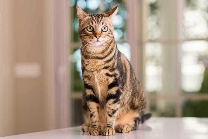 types of tabby cats
