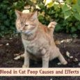 Blood in Cat Poop