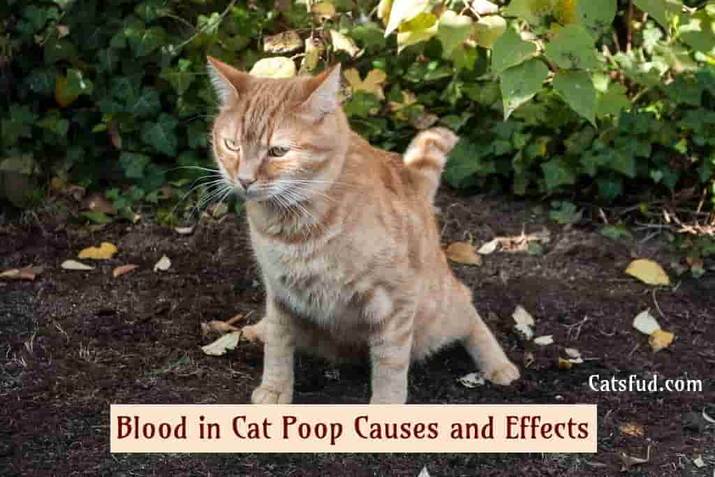 Blood in Cat Poop