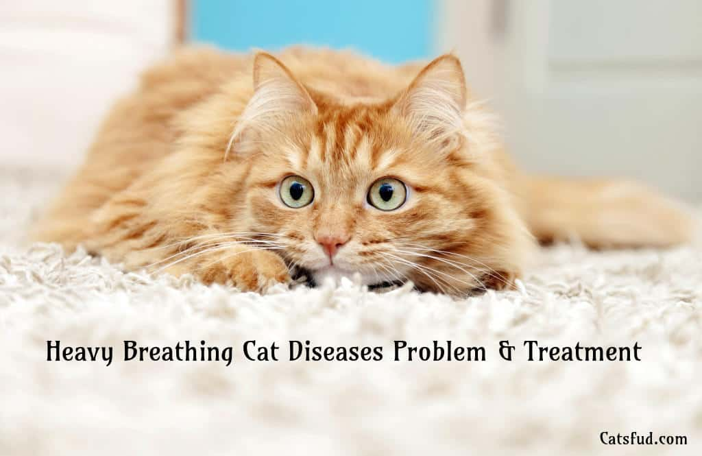 Heavy Breathing Cat Diseases Problems and Treatment - Catsfud  Heavy Breathing Cat Picture