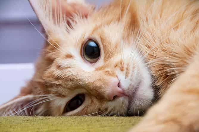 Javanese cat hypoallergenic cats