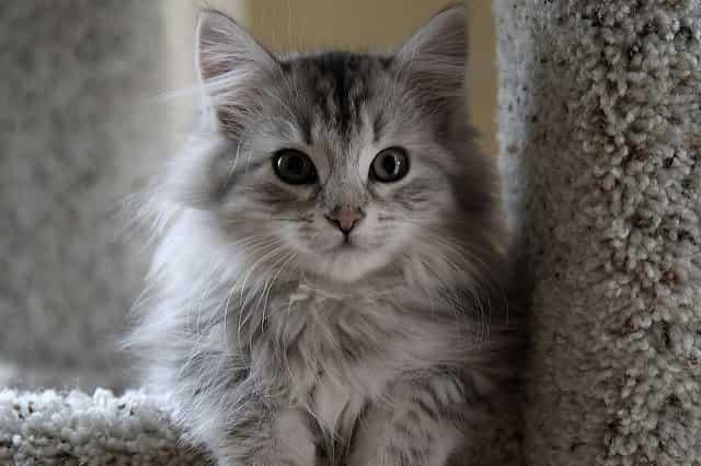 Siberian Cat hypoallergenic cats