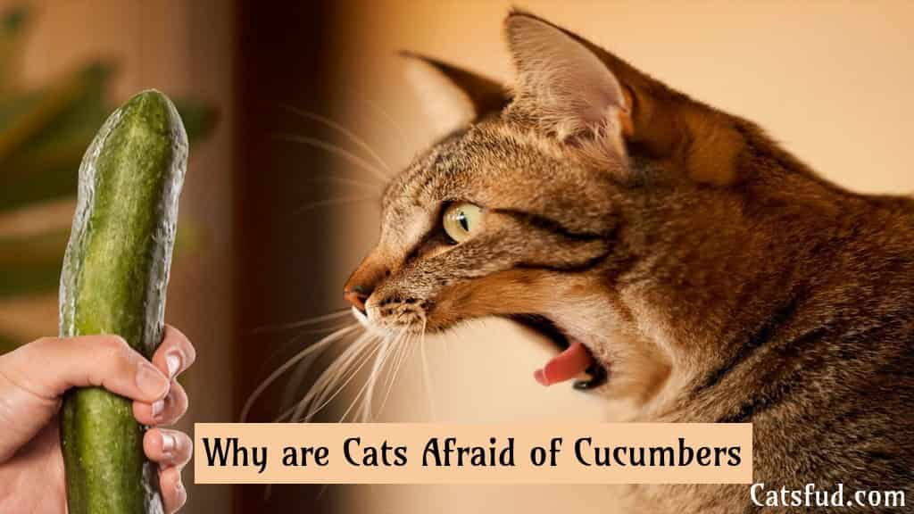 Why are Cats Afraid of Cucumbers