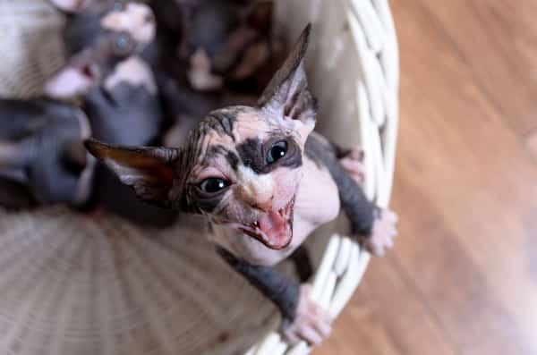 baby sphynx cat