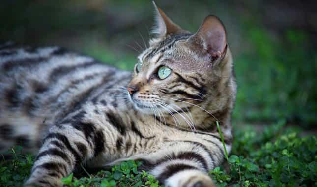 bengal cat size