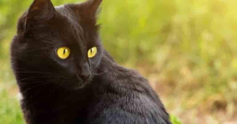bombay cat breeders