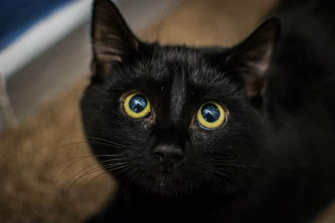 bombay cat facts
