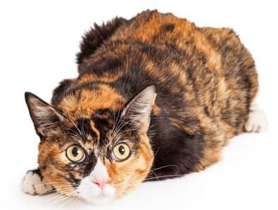 calico cat names female