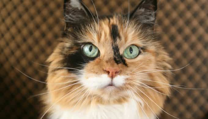 calico cat names male
