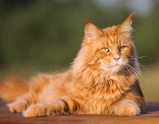 cat breed identifier