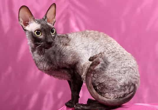 cornish rex hypoallergenic cats