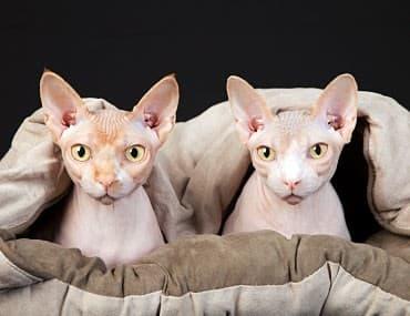 egyptian hairless cat