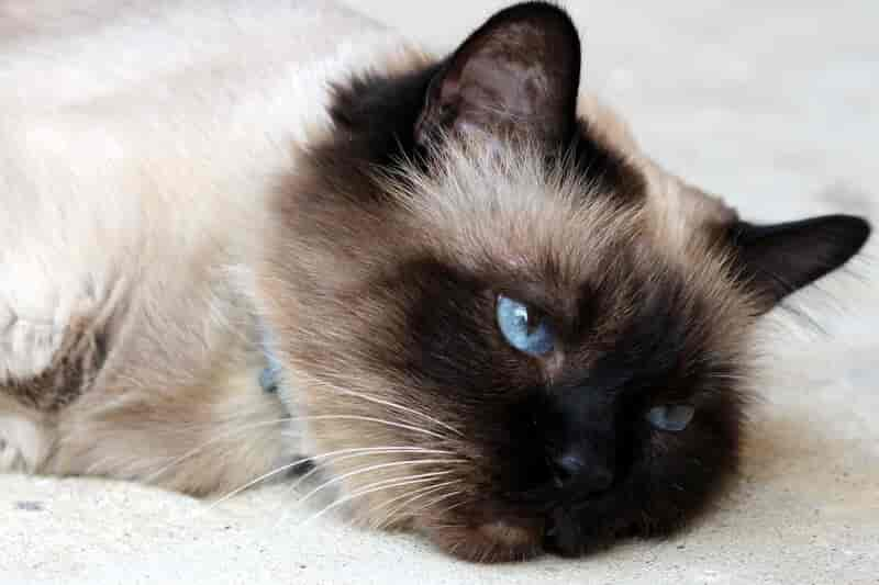 feline leukemia symptoms