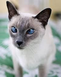 fluffy siamese cat