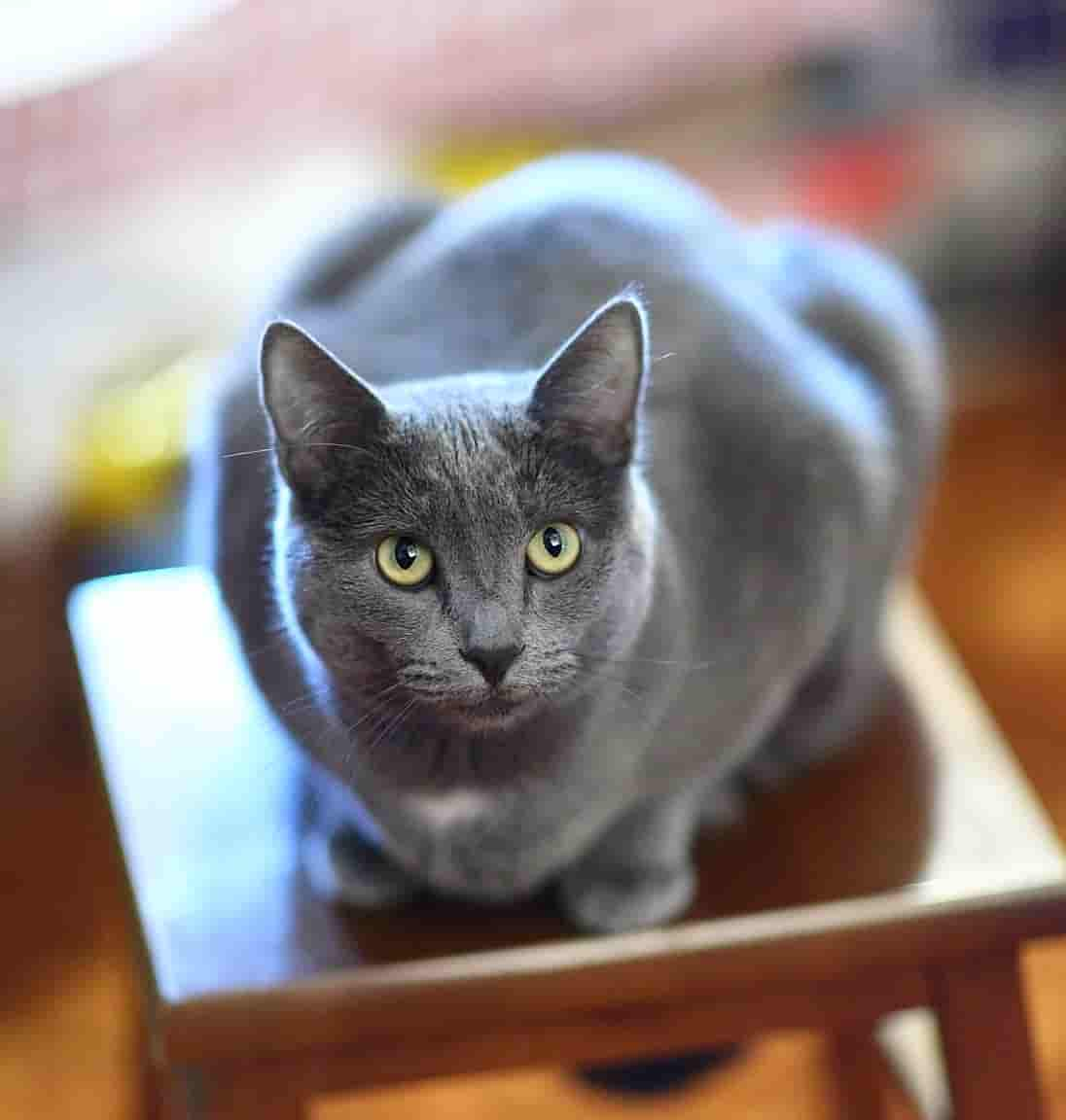 how long do russian blue cats live