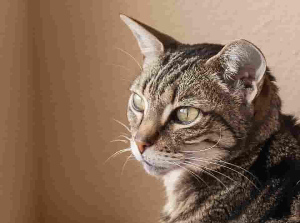 identify cat breeds