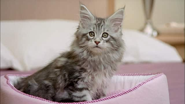 maine coon lifespan