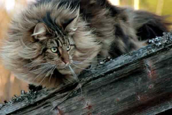 norwegian forest cat black