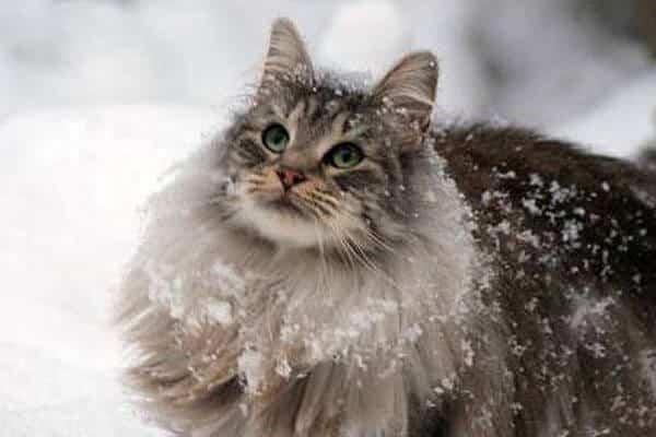 norwegian forest cat breeds