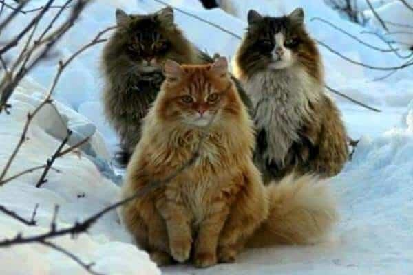 norwegian forest cat kittens