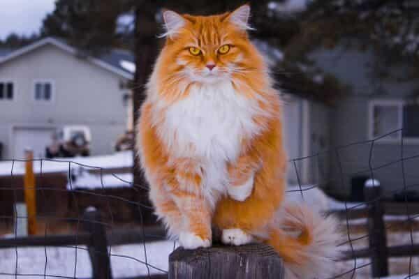 norwegian forest cat lifespan