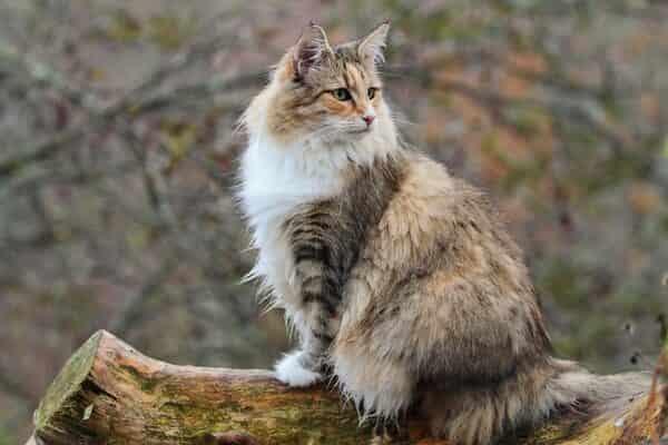 norwegian forest cat size