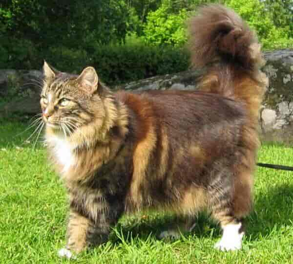 norwegian house cat