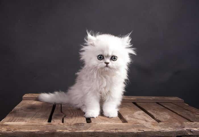 persian cat personality