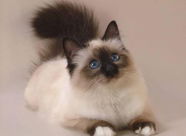 ragdoll cat personality