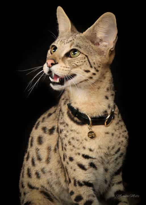 savannah house cat