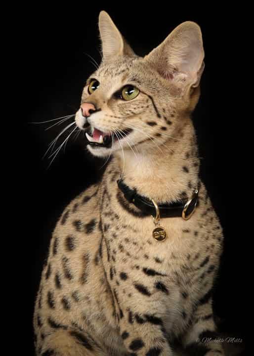 savannah house cat