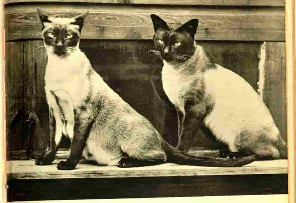 siamese cat breeders
