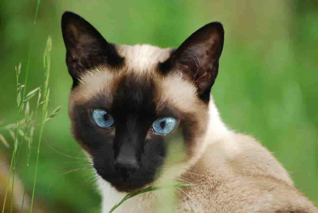 siamese cat colors