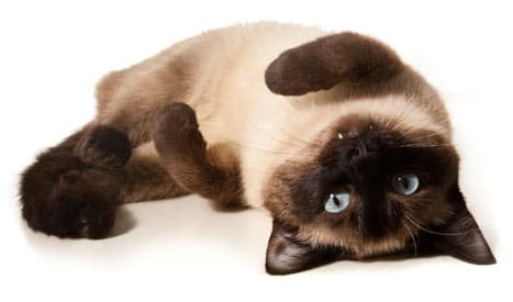 siamese cat facts