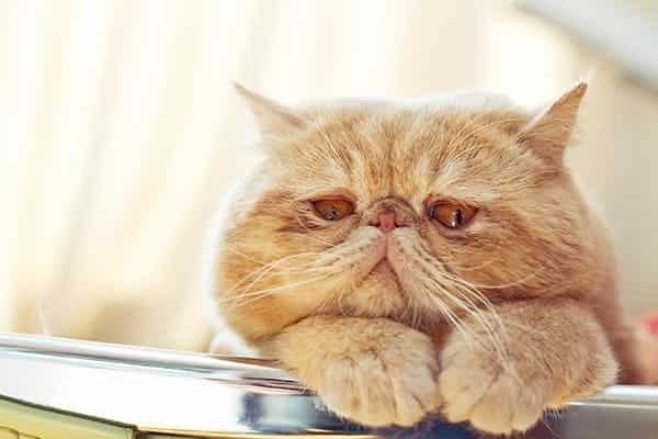 symptoms of kidney failure in cats