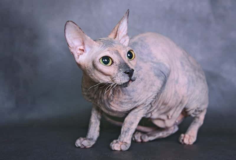 cat donskoy