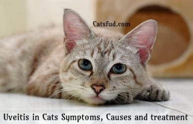 Uveitis in Cats
