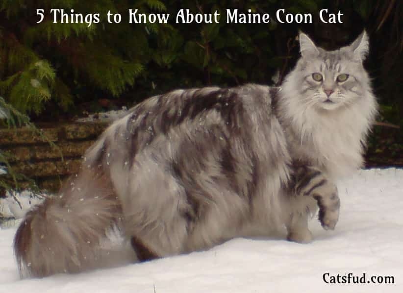 about maine coon cat