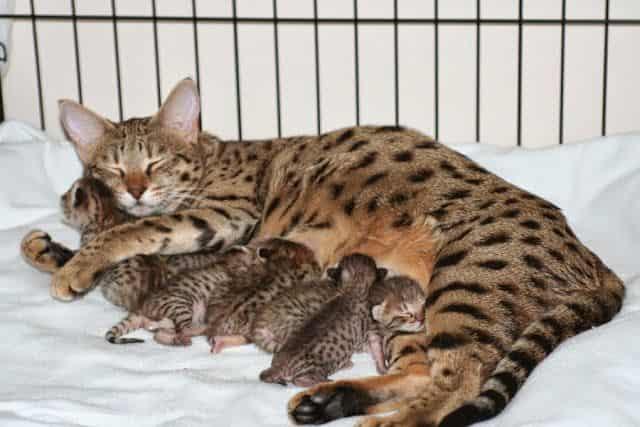 ashera cat price