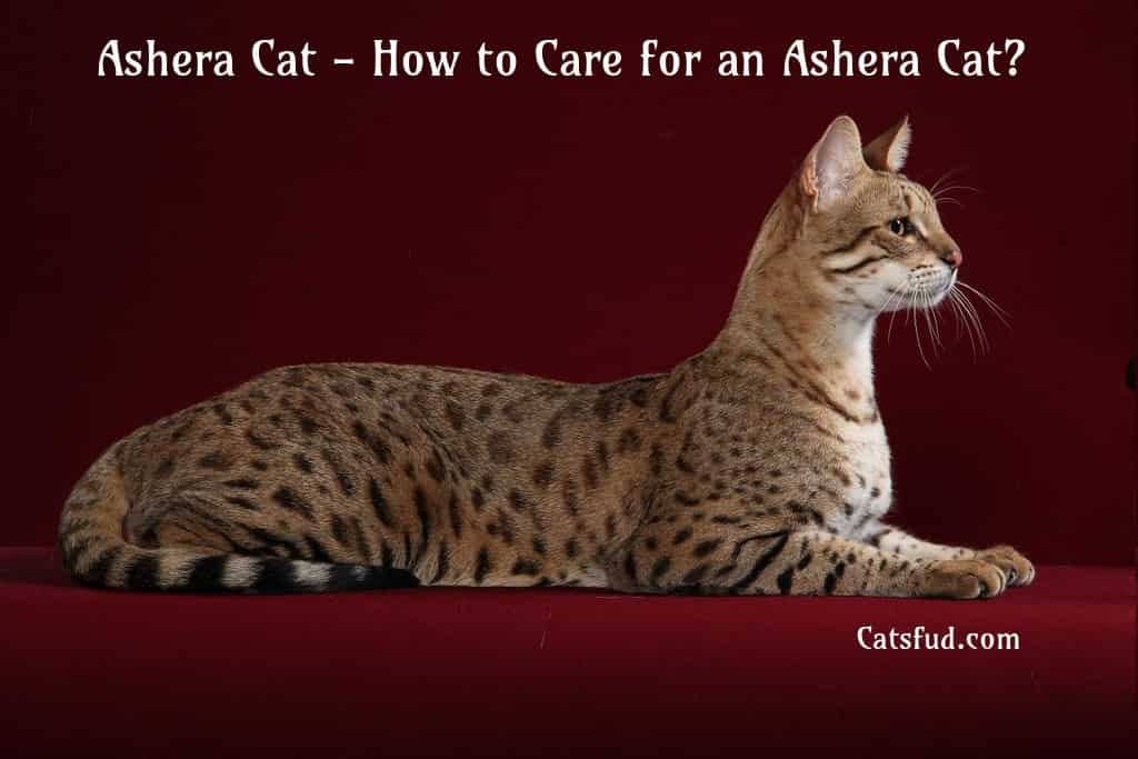 ashera cat