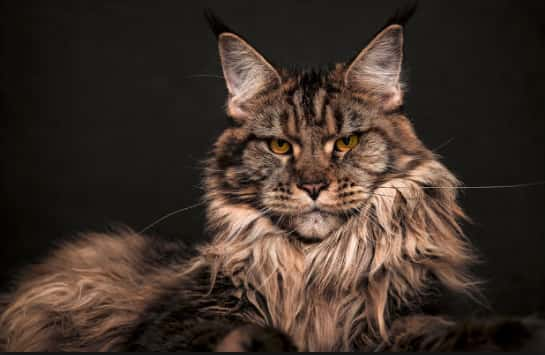 best maine coon cat