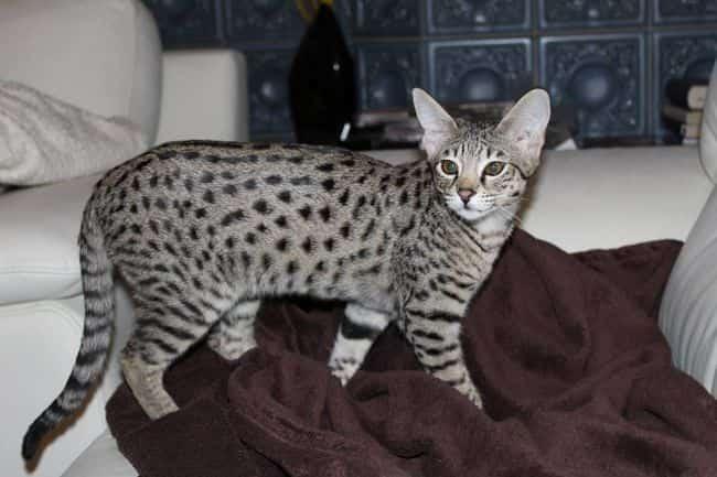 cat ashera