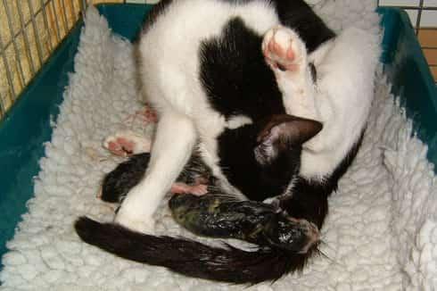 cat giving birth