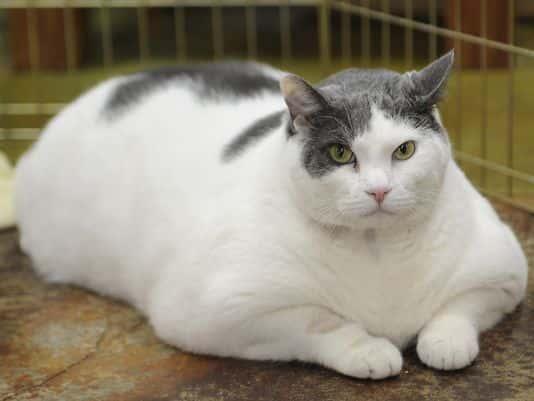 cat obesity chart